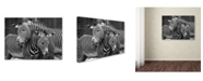 "Trademark Global Mike Jones Photo 'Zebras' Canvas Art - 47"" x 35"" x 2"""
