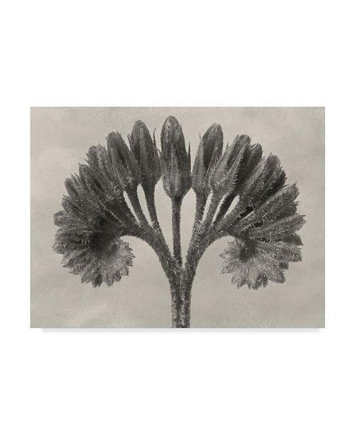 "Trademark Global Karl Blossfeldt Ua Ch Blossfeldt Botanical VII Canvas Art - 20"" x 25"""
