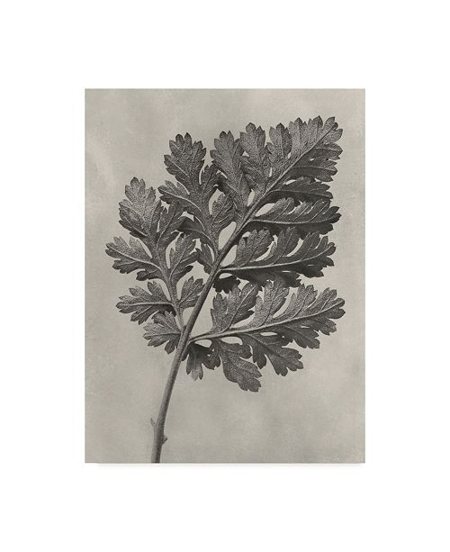 "Trademark Global Karl Blossfeldt Ua Ch Blossfeldt Botanical III Canvas Art - 20"" x 25"""