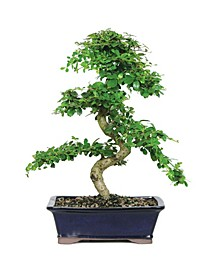 Brussels Bonsai Fukien Tea