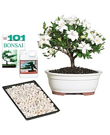 Brussels Bonsai Gardenia