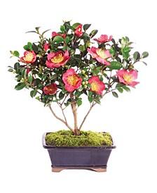 Brussels Bonsai Camellia