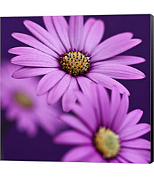 Plum Daises III by Symposium Design Canvas Art