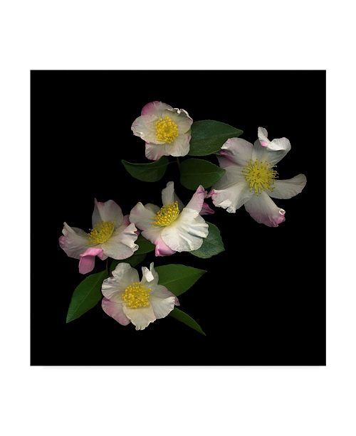 "Trademark Global Susan S. Barmon 'White And Pink Camellia' Canvas Art - 24"" x 24"""