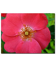 """Kathie McCurdy 'Pink Rose' Canvas Art - 32"""" x 24"""""""