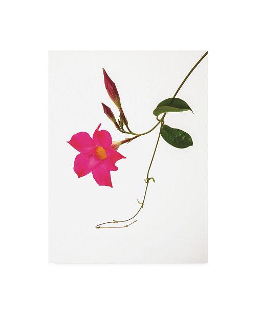 """Trademark Global Kurt Shaffer Pink Mandevilla Canvas Art - 20"""" x 25"""""""