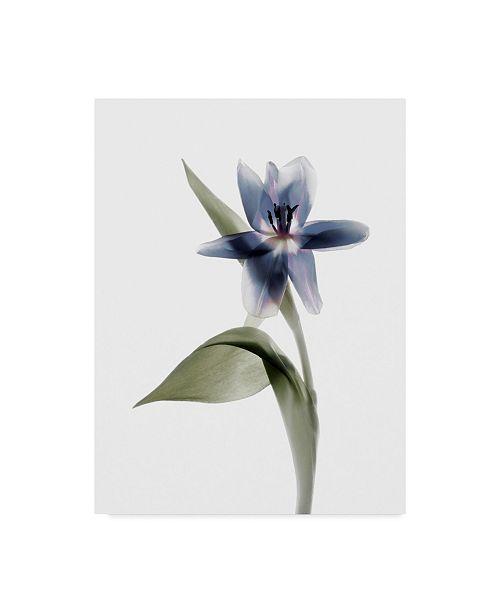 "Trademark Global Judy Stalus Xray Tulip VII Canvas Art - 37"" x 49"""