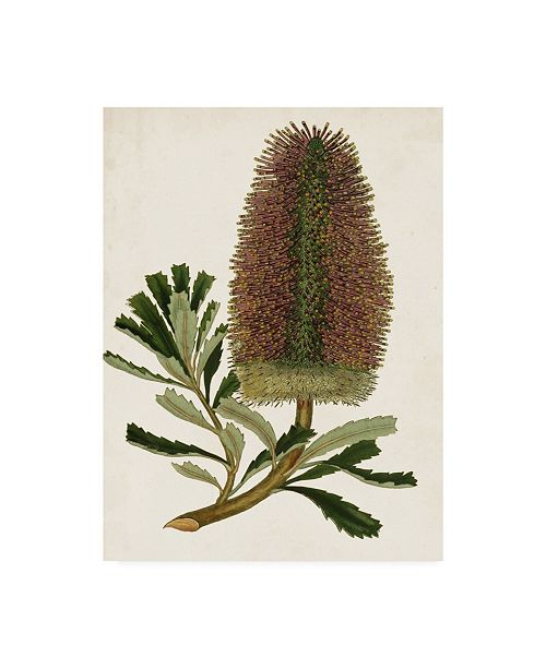 "Trademark Global Unknown Antique Protea V Canvas Art - 15"" x 20"""