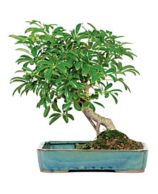 Brussels Bonsai Dwarf Hawaiian Umbrella Tree in Water Pot