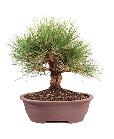 Brussels Bonsai Japanese Black Pine