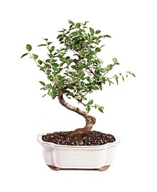 Brussels Bonsai Chinese Sweet Plum