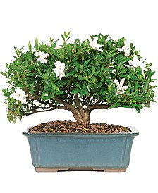 Brussels Bonsai Gardenia (Large)