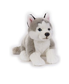 Angelo S.N.C. Lelly - National Geographic Siberian Husky, Sitting
