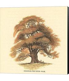 Sessile-Fruited Oak by Samuel Williams Canvas Art