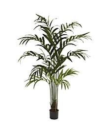 6' Kentia Palm Tree