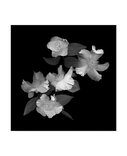 """Trademark Global Susan S. Barmon 'White And Pink Camellia Black And White' Canvas Art - 14"""" x 14"""""""