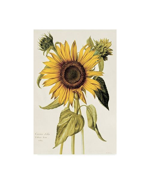 "Trademark Global Nicolas Robert Helianthus Annuus Sunflower Canvas Art - 27"" x 33.5"""