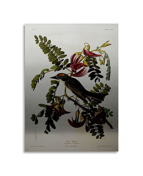 "Trademark Global John James Audubon Gray Tyrant Gray Kingbird Floating Brushed Aluminum Art - 22"" x 25"""