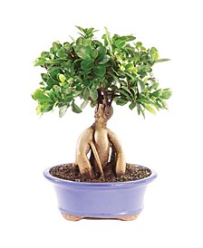 Brussels Bonsai Gensing Grafted Ficus