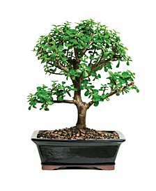 Brussels Bonsai Dwarf Jade