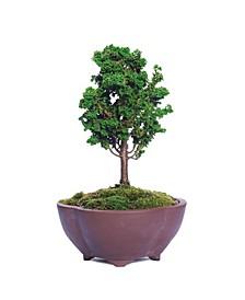 Brussels Bonsai Dwarf Hinoki Cypress 'Sekka'