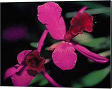 Magenta Orchid, Fiji By Dee Ann Pederson, Danita Delimont Canvas Art