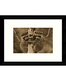 Amanti Art Raccoon Two Babies Climbing Tree, North America - Sepia Framed Art Print