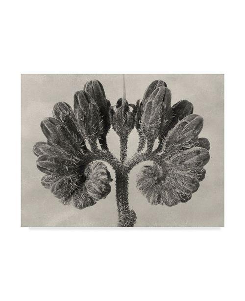 "Trademark Global Karl Blossfeldt Ua Ch Blossfeldt Botanical VIII Canvas Art - 15"" x 20"""