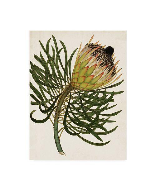 "Trademark Global Unknown Antique Protea III Canvas Art - 20"" x 25"""