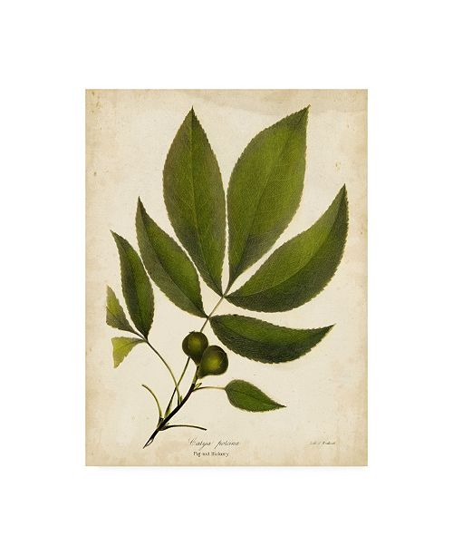 "Trademark Global John Torrey Pig Nut Hickory Tree Foliage Canvas Art - 37"" x 49"""