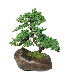 Brussels Bonsai Green Mound Juniper in Rock Pot