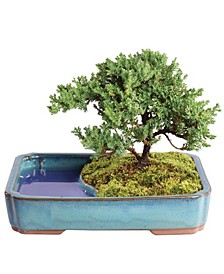 Brussels Bonsai Green Mound Juniper Bonsai in Water Pot