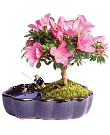 Brussels Bonsai Satsuki Azalea Bonsai in Zen Reflections Pot