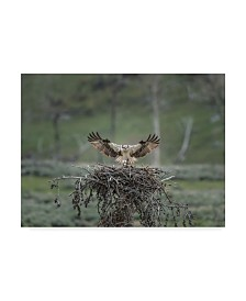 "Galloimages Online 'Osprey Lands On Nest With Chick' Canvas Art - 47"" x 35"""