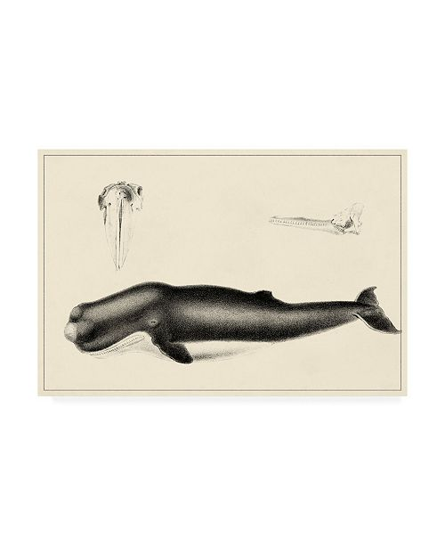 """Trademark Global Unknown Antique Whale Study II Canvas Art - 27"""" x 33.5"""""""