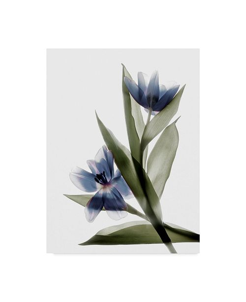 "Trademark Global Judy Stalus Xray Tulip VI Canvas Art - 15"" x 20"""