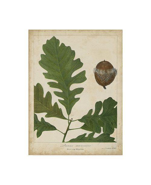"""Trademark Global John Torrey Oak Leaves and Acorns III Canvas Art - 37"""" x 49"""""""