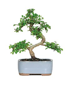 Brussels Bonsai Chinese Elm