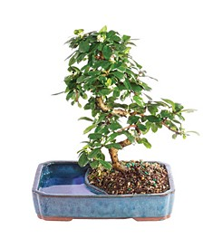 Brussels Bonsai Fukien Tea Bonsai in Land Water Pot