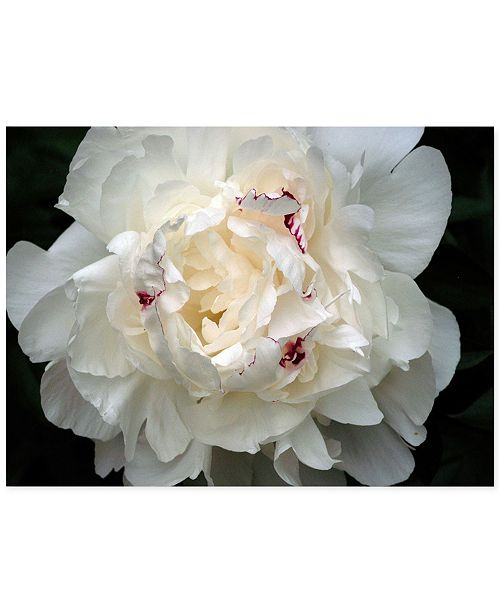 "Trademark Global Perfect Peony by Kurt Shaffer Canvas Art - 24"" x 18"""