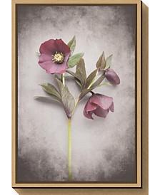 Amanti Art Vintage Hellebore Study V by Felicity Bradley Canvas Framed Art