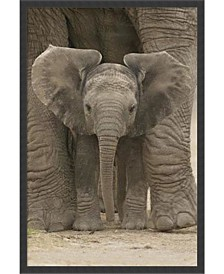 Amanti Art Big Ears - Baby Elephant- Framed Art Print