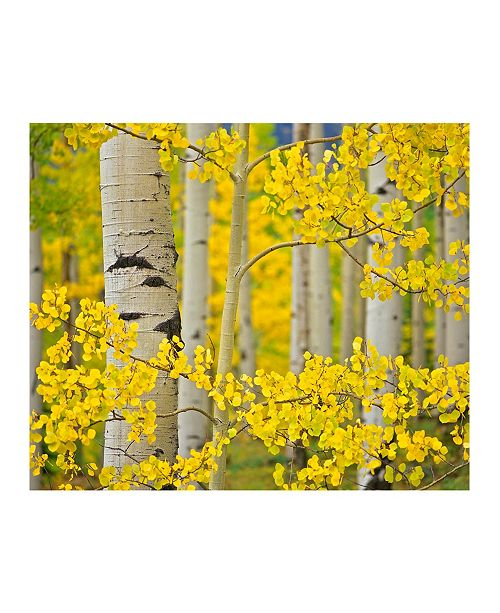 """CHRISTOPHER KNIGHT COLLECTION - Aspen Trees Close Up Canvas Art, 24"""" x 18"""""""