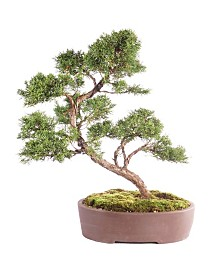 Brussels Bonsai Shimpaku Juniper