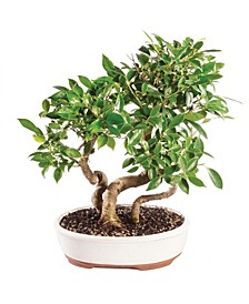 Brussels Bonsai Golden Gate Ficus Grove