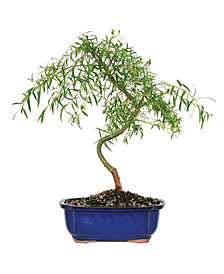 Brussels Bonsai Japanese Weeping Willow
