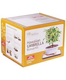 Brussels Bonsai Hawaiian Umbrella Bonsai Kit