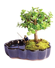Brussels Bonsai Dwarf Jade Bonsai in Zen Reflections Pot