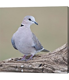 Tanzania. Ring-Necked Dove, Ndutu, Ngorongoro by Ralph H. Bendjebar,Danita Delimont Canvas Art