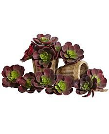 "5"" Echeveria Succulent Plant, Set of 12"